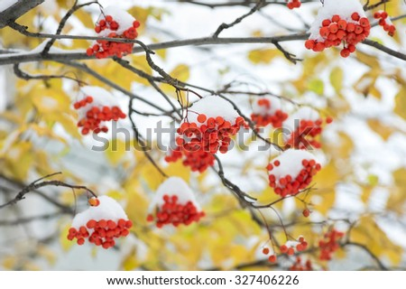Snow-covered mountain ash against yellow leaves - stock photo