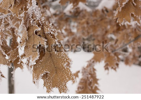 Snow covered oak leaves hang on to their tree well into winter creating a beautiful winter landscape. - stock photo