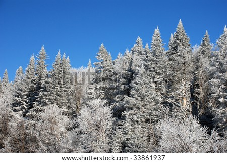 Snow covered pine and fir trees - stock photo