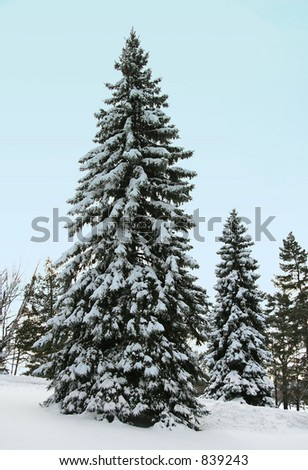 Snow covered tall pine on the hill side - stock photo