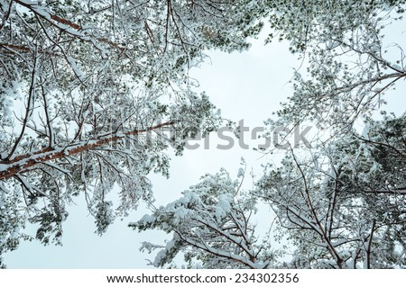 Snow-covered tree branch at sunset. Winter background. Christmas and New Year Tree - stock photo