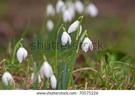 snow drop group in winter