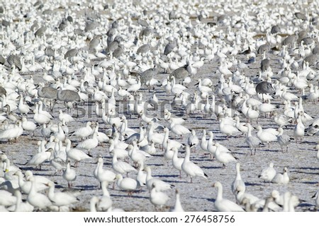 Snow geese and Sandhill cranes on frozen field at the Bosque del Apache National Wildlife Refuge, near San Antonio and Socorro, New Mexico  - stock photo