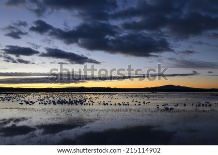 Snow Geese at Dawn - stock photo