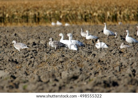 Snow geese, Chen caerulescens, with gosling resting in plowed field during migration.