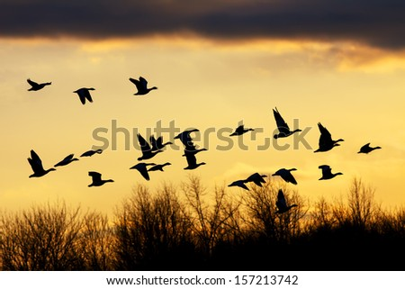 Snow Geese flying over the treetops at sunset. - stock photo