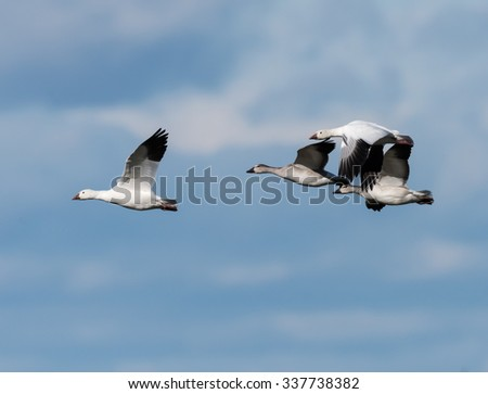 Snow Geese Flying South in Fall on Blue Sky - stock photo