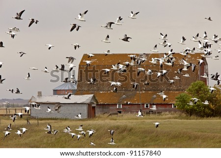 Snow geese in flight rural Saskatchewan - stock photo