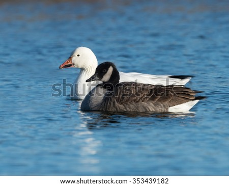 Snow Goose and Canada Goose Swimming - stock photo