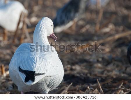 Snow Goose Decoys - stock photo