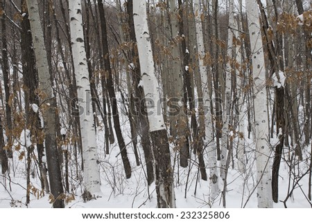 snow in the birch tree forest