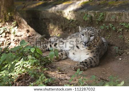 Snow leopard at Himalayan Zoological Park, Darjeeling, West Bengal, India - stock photo