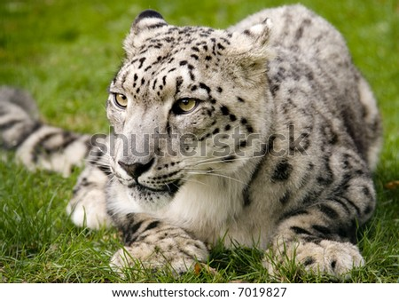 Snow Leopard at Rest - stock photo