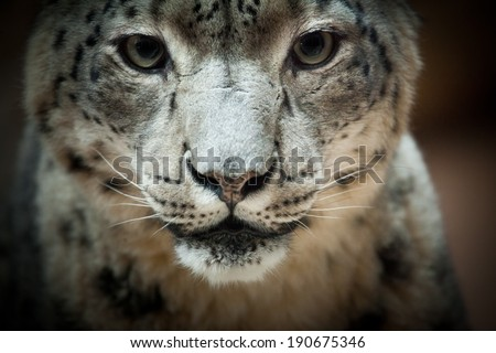 Snow Leopard Closeup - Panthera uncia - stock photo