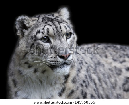 Snow leopard female, isolated on black background - stock photo