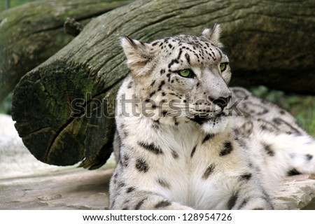 snow leopard lying on a stone in the natural - stock photo