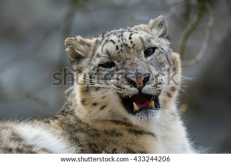 Snow leopard (Panthera uncia) magnificent animal from which it comes genuine respect