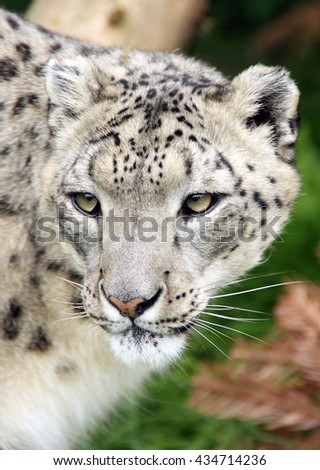 SNOW LEOPARD portrait. Close up Stunning rare Leopard, Panthera Uncia, in forest, looks off to camera.