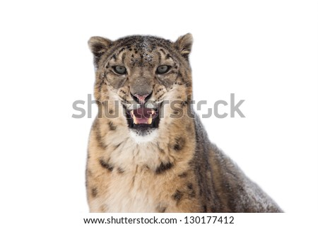 Snow leopard portrait isolated