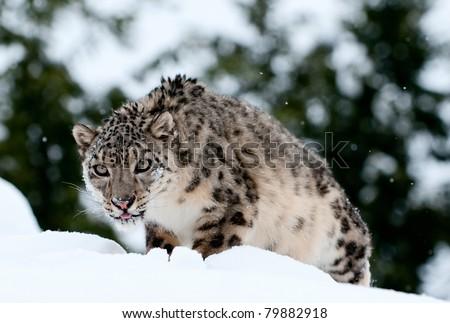 Snow leopard stalking in fresh snow - stock photo