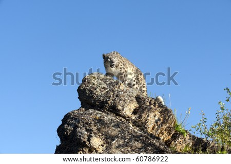 Snow leopard views its domain and searches for prey from atop a rocky ledge in the forest.