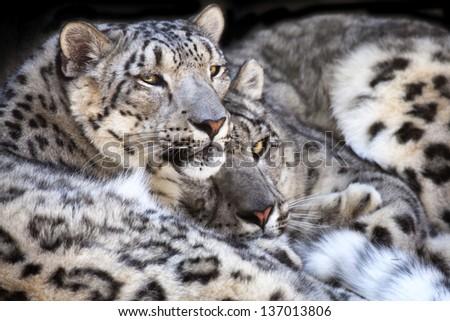 Snow Leopards - stock photo