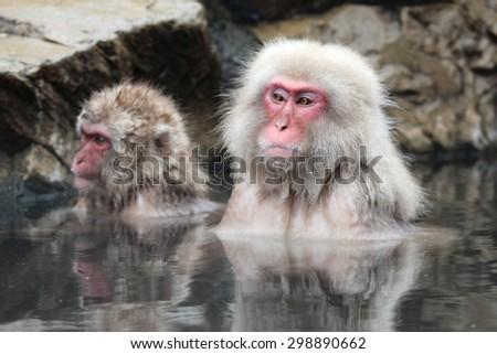 Snow monkey  - stock photo