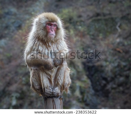 Snow monkey or Japanese Macaque in hot spring onsen - stock photo