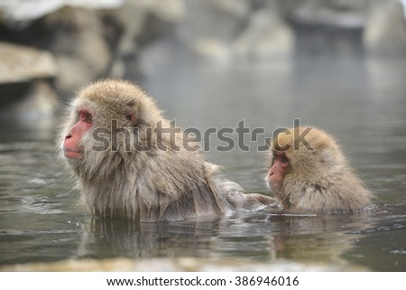 snow monkey with hot springs in nagano