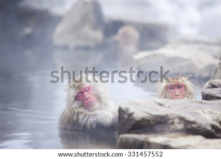 Snow monkeys (Japanese Macaques) in the onsen hot springs of Nagano, Japan. - stock photo