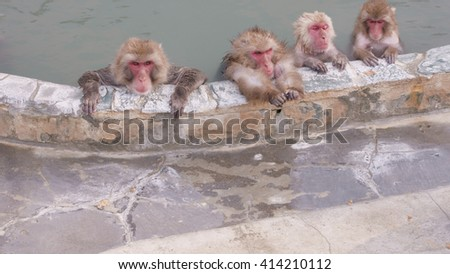 Snow Monkeys Relaxing in a Hotspring. Japanese Macaque Onsen Monkey. - stock photo
