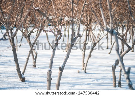 Snow on dry branches of tree in winter time