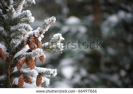 Snow on evergreen branches - stock photo
