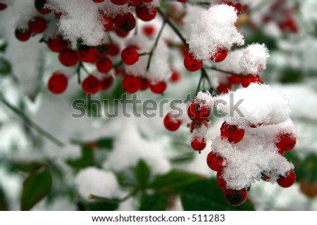 snow on red berries - stock photo