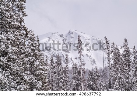 Snow on the mountain and the lodgepole pines (Pinus contorta) under an overcast sky in Yellowstone National Park