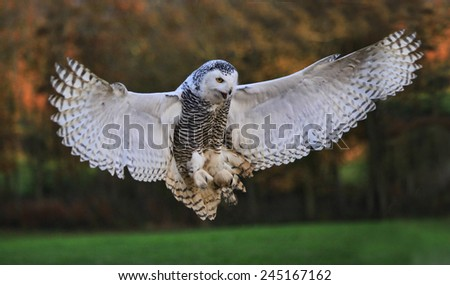 Snow owl about to land with its wings wide open - stock photo