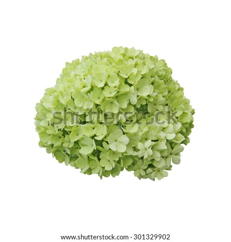 Snowball (Viburnum opulus) flower isolated on white background  - stock photo