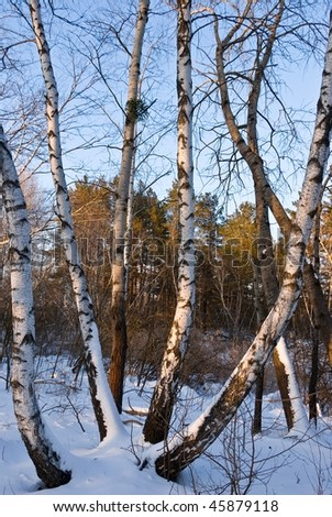 snowbound birch on a winter forest at the evening