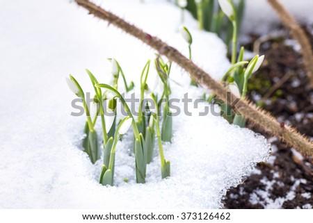 snowdrop - stock photo