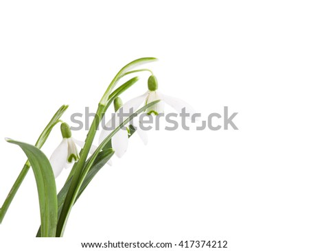 snowdrop bouquet on isolated white background - stock photo