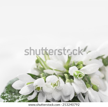 snowdrop flower white isolated on white background - stock photo