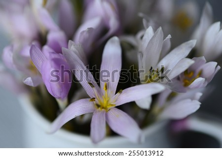 Snowdrop flowers  - stock photo