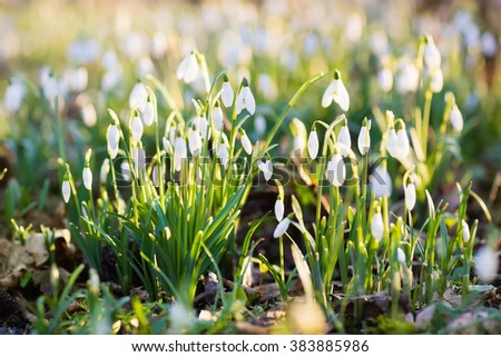 Snowdrop flowers in a park on a sunny spring day. Snow drop flower meadow in March. - stock photo