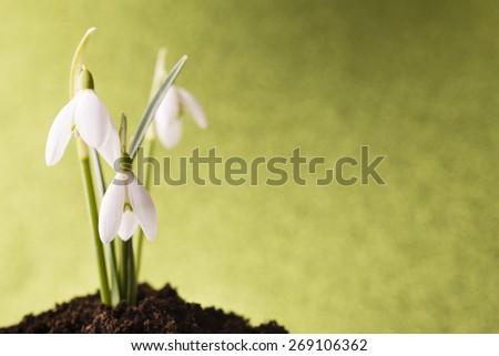 Snowdrop ground stack. Springt time. - stock photo