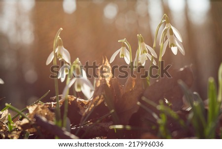 Snowdrop in park; Shallow depth of field - stock photo
