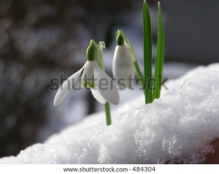 Snowdrop in snow - stock photo