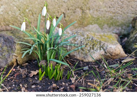snowdrop in the garden, shallow depth of field - stock photo