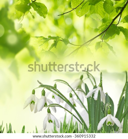 snowdrops in snow isolated - stock photo