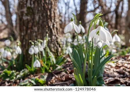 snowdrops in the forest bright spring morning - stock photo