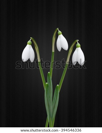 Snowdrops isolated on black background - stock photo